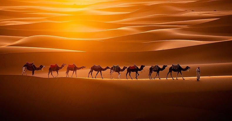 Camels Walking in the Desert