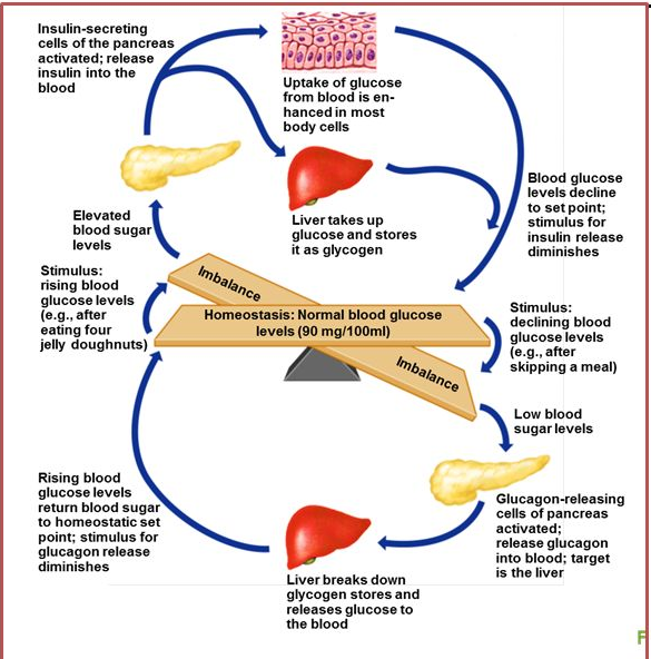 How the pancreas and liver keep your blood sugar stable through the day
