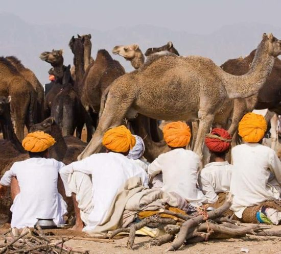 Sahara Dairy Co Health Benefits of India Camel Milk