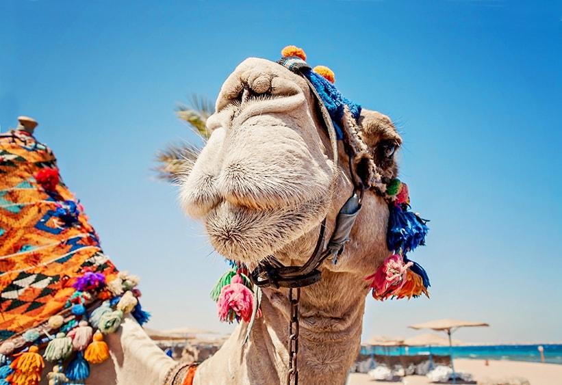 Sahara Dairy Co Camel Milk Benefits Autistic Children