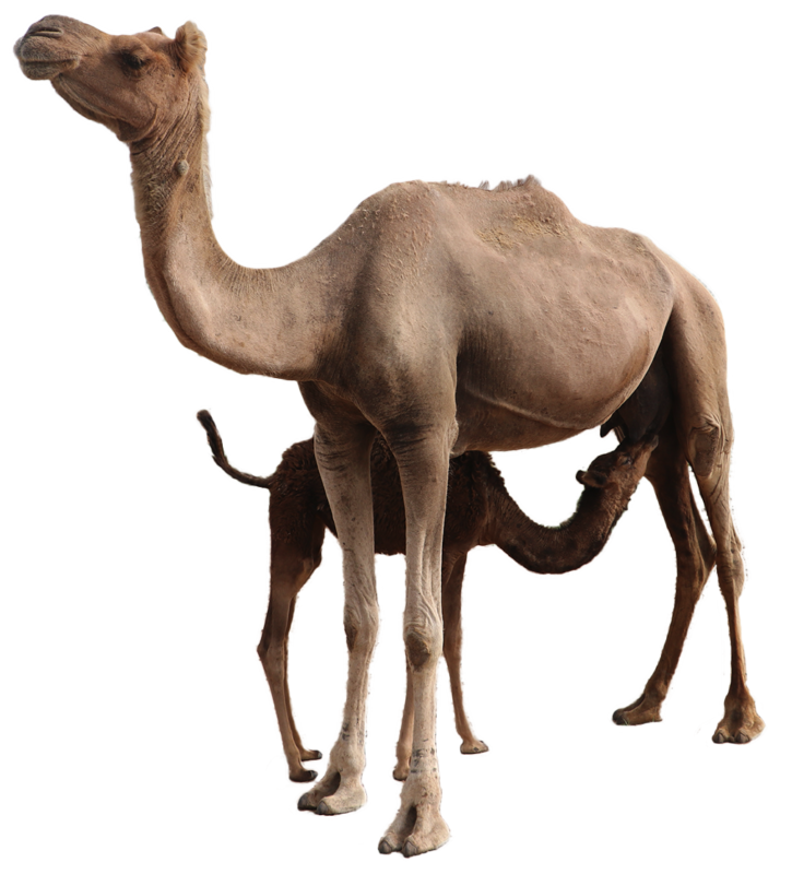 Sahara Dairy Co Buy Freeze Dry Camel Milk