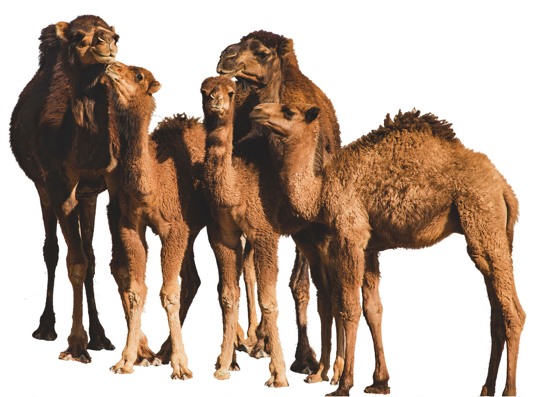 Sahara Dairy Co Organic Camel Milk Benefits